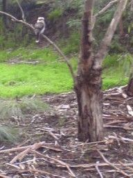 Kookaburra checking the weeded area