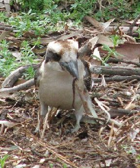 a kookaburra with a juicy worm for a snack